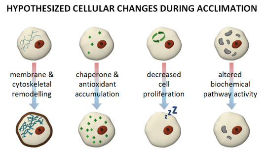 Hypothesized cellular changes during acclimation include membrane and cytoskeletal remodelling, chaperone and antioxidant accumulation, decreased cell proliferation, and altered biochemical pathway activity